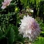 Mmmmm...love this Dahlia (Dahlia Pinnata (Dahlia) Dinnerplate)