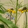 rudbeckia & Borage hiding behind the cosmo (Rudbeckia fulgida (Black-eyed Susan), borage cosmo)