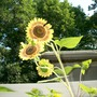 windy sunflowers