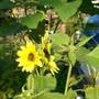 two headed sunflower