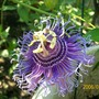 "Christ's Thorn (Passiflora ""Incensa""  hybrid)"