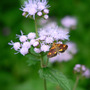 Orange Mint Moth (Eupatorium coelestinum)