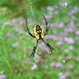 Spider_argiope_black_and_yellow_web_8_25_08_exc_sm