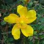 Flower growing near Chertsey Bridge, Surrey (Hypericum Polyphyllum)