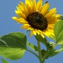 Sunflower with a friend (Helianthus annuus (Sunflower))