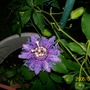 "Passionflower (Passiflora ""Incensa""  hybrid)"