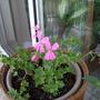 Ivy_geranium_balcony_pink