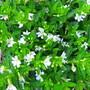 Cuphea (Cuphea hyssopifolia)