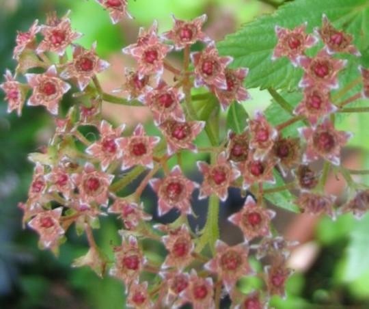 Spiraea Goldflame seedhead (Spiraea japonica)
