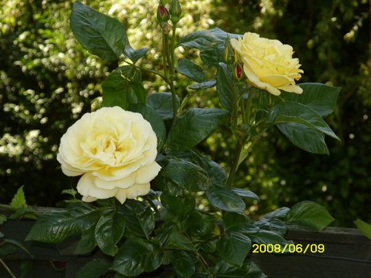 Golden Showers  [Climbing Rose (Rosa)