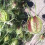 Nigella seed pods (Nigella damascena (Love-in-a-mist))