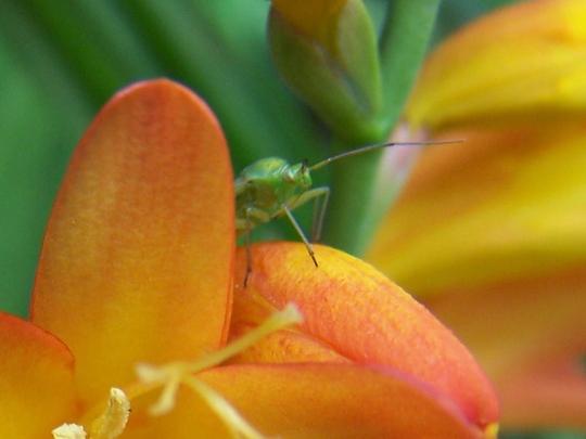 Capsid Bug on a Crocosmia