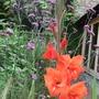 Gladiolus_vernena_bon.
