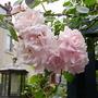 Rose New Dawn