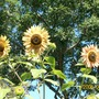 sunflower garden (Helianthus annuus (Sunflower))