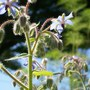 borago in the garden (Borago officinalis (Borage))