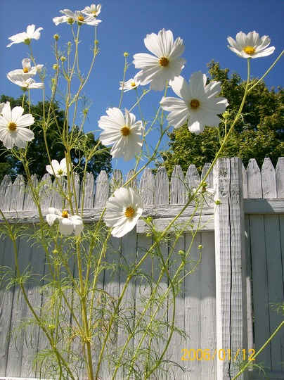 cluster white cosmos