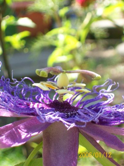 "Passionflower (Passiflora ""Incensa""  hybrid)"