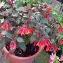 Fuschia Thalia (Fuchsia 'Thalia')