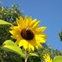 Bees love sunflowers (Helianthus annuus (Sunflower))