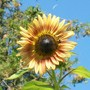 Bee sunflower Love (Helianthus annuus (Sunflower))