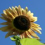 sunflower in the sky (Helianthus annuus (Sunflower))