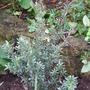 Leptospermum langirerum 'Silver Sheen' (Leptospermum lanigerum)