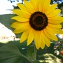 backwards sunflower