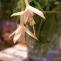 magallenica alba (fuchsia magellenica alba)