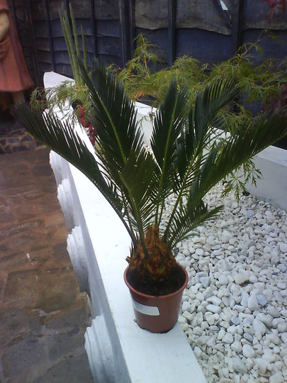 cycad excuse my spelling