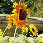 Bee sunflower Love