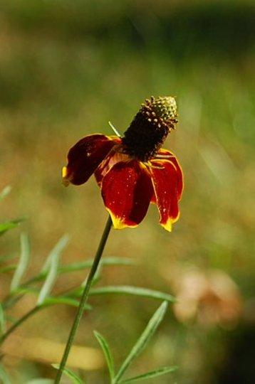 Mexican Hat Plant (Ratibida pinnata (Gray Headed Coneflower))