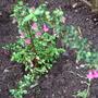 Fuchsia microphylla (Fuchsia microphylla)