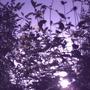 Daybreak_through_asters