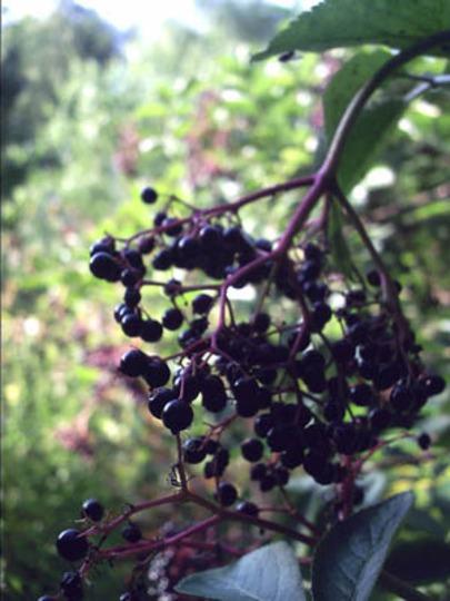 Elder_Fruit