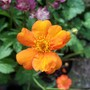 Geum 'Princess Juliana'