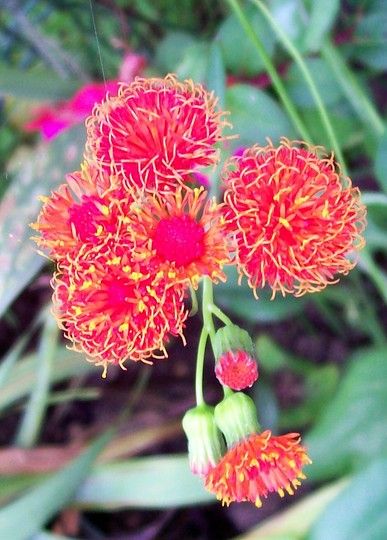 Tassel Flower (Emilia coccinea 'Scarlet Magic')