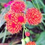 Tassel Flower (Emilia coccinea 'Scarlet Magic')