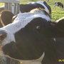 Freyas cow