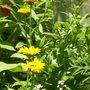Alyssum saxatilis (Alyssum)