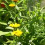 Alyssum in the garden (Alyssum saxatilis (Alyssum))