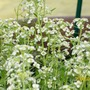 Up close and personal with Covent Garden (Alyssum saxatilis (Alyssum))