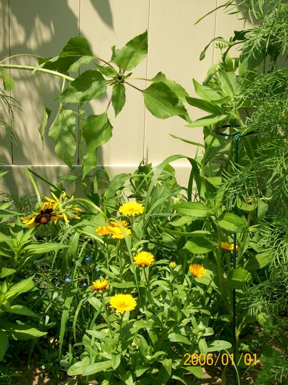 Marigolds in the garden (Calendula maderensis (Madeiran Marigold))