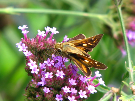 Female fiery skipper butterfly