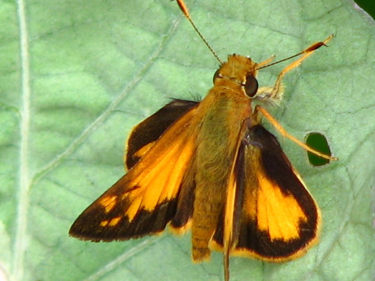 Male fiery skipper butterfly