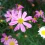 Coreopsis_pink_