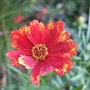 Coreopsis_butterfly_dream_