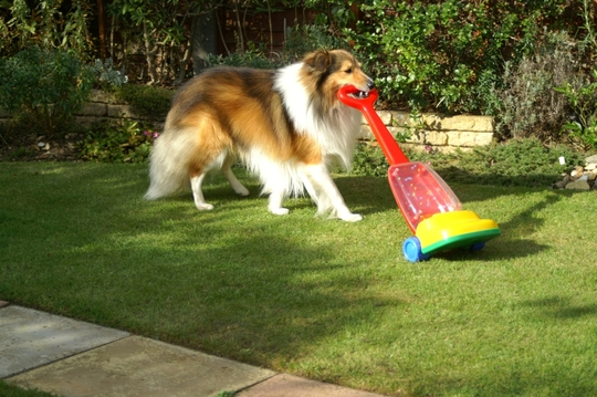 Shetland Sheepdog vacuuming the lawn