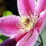 CLIMATIS (Family: Ranunculaceae)