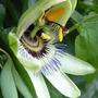 PASSION (Passiflora caerulea (Passion flower))